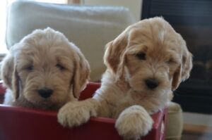 Price Reduced on the LAST Perfect Golden Doodle Pup