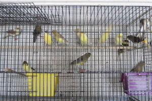 Canaries for sale Cambridge Kitchener Area image 3