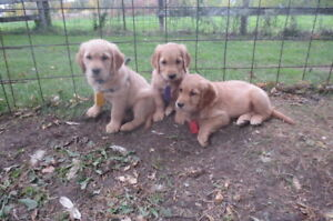 Golden Retriever Female Puppies