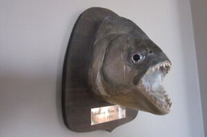 Mounted Piranha Head