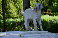 Percentage KIKO Goat Kids for sale