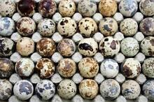 FERTILE JAPANESE QUAIL EGGS $5.00 - 20 eggs Paralowie Salisbury Area Preview