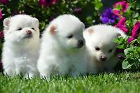 Pomeranian Puppies ( White/Cream )