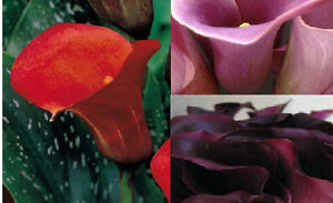 6x Calla Lily hybrid – Mixed (Arum) small bulbs, This is a bargain!!