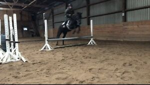 Coming 4 year old tb gelding