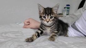 2 amazing tabby kittens