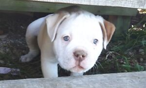 100% Pure American Bulldog puppies