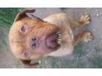 Female Dogue De Bordeaux looking for forever home