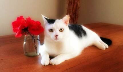 AK0645 : Anakin - CAT for ADOPTION - Vet work included Morley Bayswater Area Preview