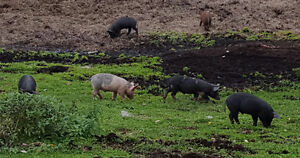 Weaner pigs for sale Strathcona County Edmonton Area image 4