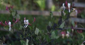 Early Dutch Honeysuckle--Lonicera periclymenum 'Belgica'
