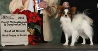 CKC Reg Male papillon pups