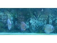 3 x discus fish