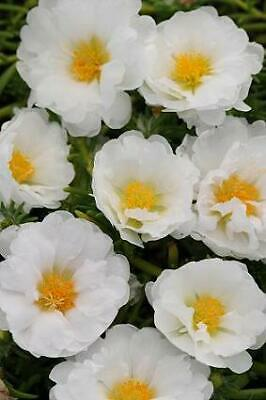 Portulaca Happy Trails MSP White    250 seeds  Need More?  Ask for sale  USA
