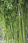 Bambus Samen