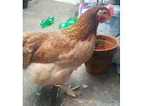 POL Wheatan Maran Hen 7 months old