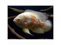 Oscar fish. Albino