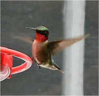 Ruby-throated Hummingbirds in PEI & Canada: What they need!