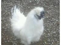 Full bred white silkie roosters for sale