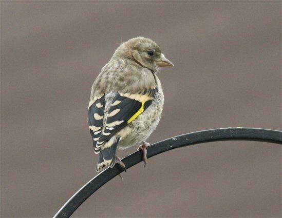 Two baby goldfinches for sale | in Forest Gate, London ...