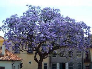 Paulownia-Tomentosa-100-Seeds-Empress-Foxglove-Tree