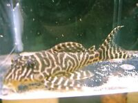 King Tiger Plec ( L66) 1.5 inches size (approx ) £18
