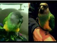 MISSING GREEN PARROT