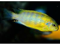 Tropheops Cichlid