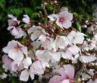 Cherry Tree Cherry Trees without Custom Bundle
