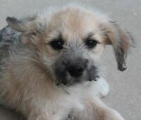 "Baby Female Dog - Irish Wolfhound: ""Jabba - Adoption Pending"""