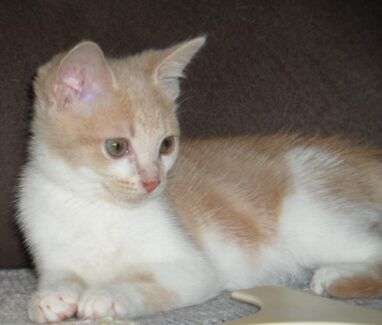 Kitten 'Emily' - Hunter Animal Rescue Raymond Terrace Port Stephens Area Preview