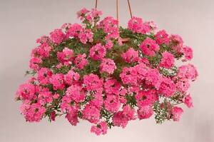 Trailing Verbena Mix of colours - 100 SEEDS - Verbena pendula - ANNUAL FLOWER