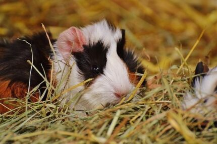 Wanted: Wanted Guinea pigs. Good home offered. Lots of food etc