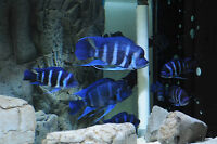 Breeding group of zaire kitumba frontosa (african cichlids)