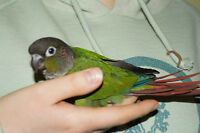 BABY GREEN CHEEK CONURE ON SALE