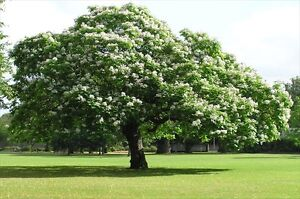 Hardy Two Year Old Northern Catalpa Cigar Tree Peterborough Peterborough Area image 3
