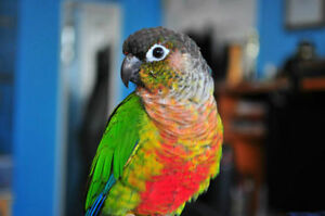 ❤♥☆♥ CONURE ♥ Babies with Cage and Food ♥☆♥❤