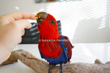 ECLECTUS BABIES- FREE FREIGHT Ends Today! Adelaide Region Preview