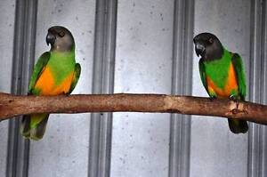 SENEGAL PARROTS Hope Valley Tea Tree Gully Area Preview