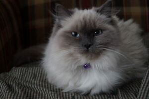 TWO BEAUTIFUL YOUNG RETIRED RAGDOLLS AVAILABLE FOR ADOPTION