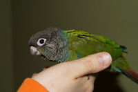 PEARLY CONURE BABIES ON SALE