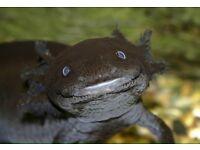 2 adult axolotls for sale £20 each