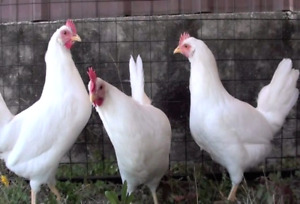 Laying hens for sale!