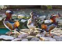 Mandarin/Carolina ducks
