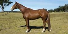 Australian Stock Horse 15.2hh Warrenbri Tyson ~ Termeil NSW Ulladulla Shoalhaven Area Preview