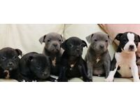 Beautiful Litter of Staffordshire Bull Terriers