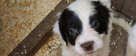 Health tested F1 Springer spaniel x poodle (miniature) puppies