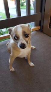 """Adult Male Dog - Chihuahua: """"TOBI"""""""