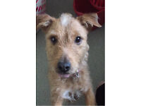 Patterdale cross Lakeland terrier