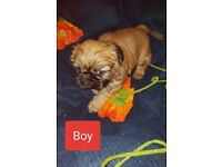 Amazing Shih-Tzu puppies for Sale